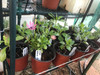 Osteospermum Serenity Rose Magic Cuttings or Potted..