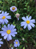 Blue Marguerite Daisy cuttings or potted (Hardy)..