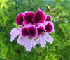 Highton Orissa Angel Pelargonium Live plant Potted..