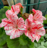 Geranium Garden Jewels cuttings or potted plant