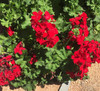Geranium Big Red  Live Cuttings or Potted Plant
