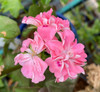 Ivy Geranium Apricot Queen Live Cuttings or Potted Plant