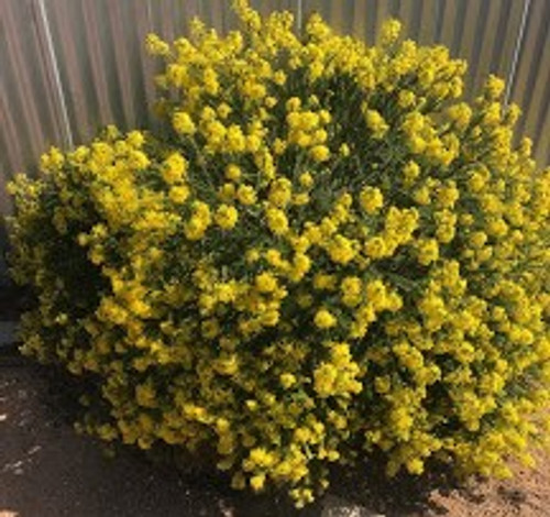Euryops Virgineus Potted Plant (Drought tolerant, winter flowering)