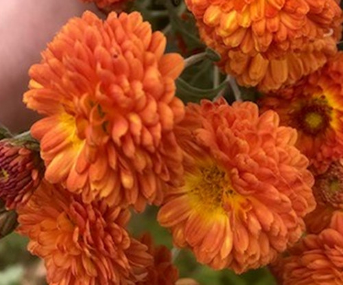 Chrysanthemum Copper Buttons, bare rooted or potted