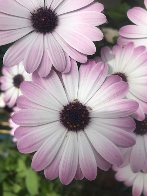 Osteospermum White Pink Blush (African Daisy) Cuttings or Potted