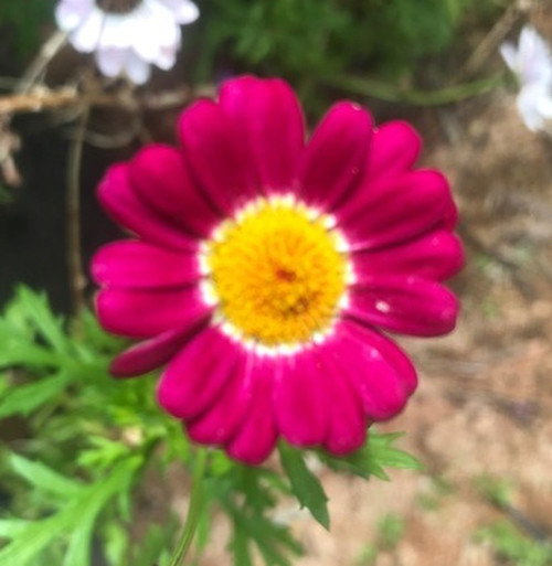 Marguerite Daisy ''Red Baron' cuttings or potted (Hardy)