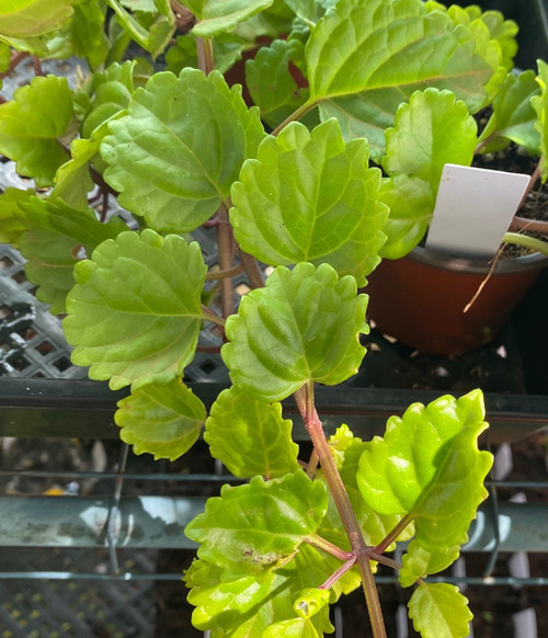 Swedish Ivy House Plant cuttings or potted