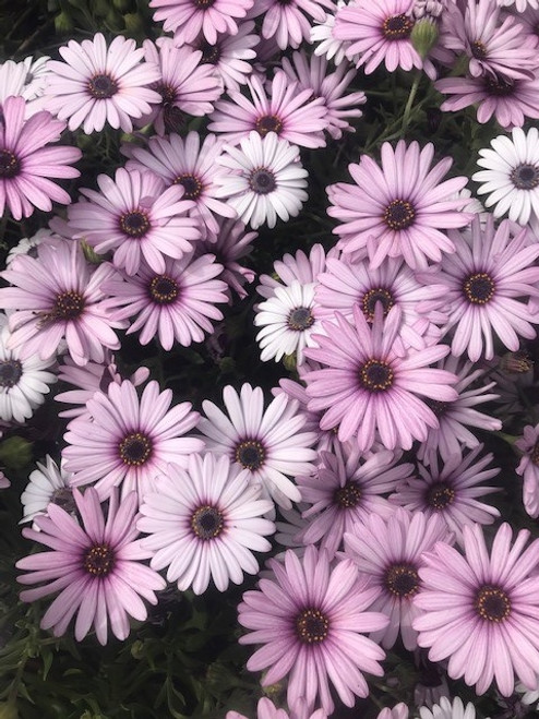 Osteospermum Pink Ecklonis (African Daisy) Cuttings or Potted..