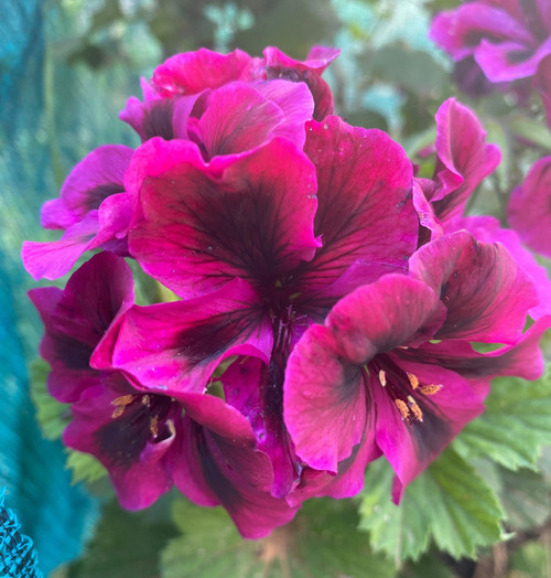 Geranium Oz Azalea cuttings or potted plant..