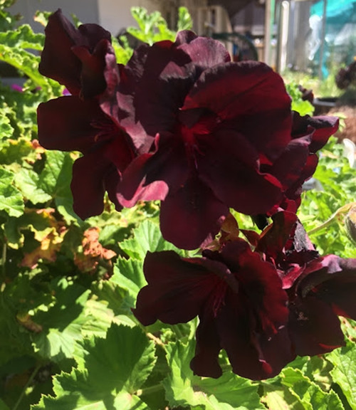 Geranium/Pelargomium Burgundy cuttings or potted plant..