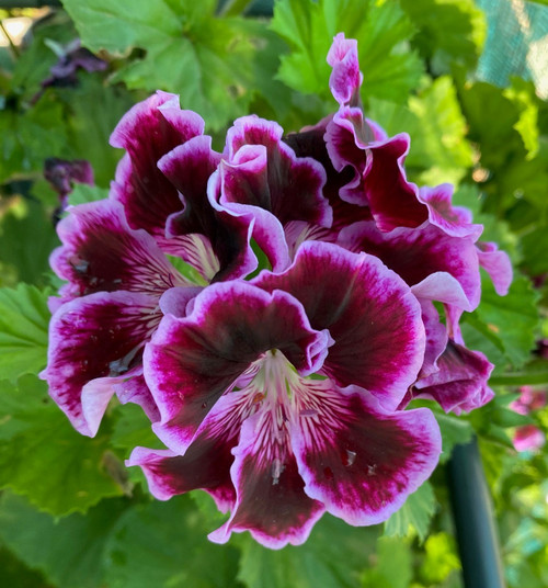 Geranium Regal Rembrandt cuttings or potted plant..