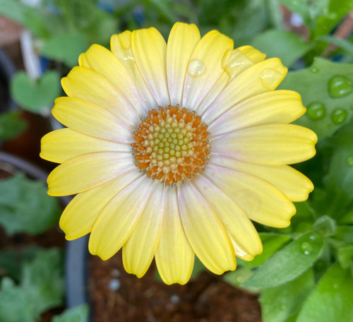 Osteospermum Blushing Beauty (African Daisy) Live Plant
