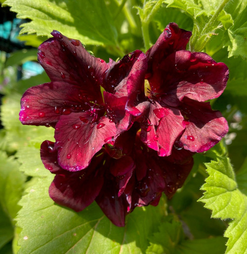 Geranium Pelargonium Dark Secret Live Cuttings or Potted Plant