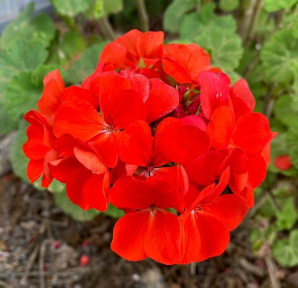 Geranium Classic Red  Cuttings or Potted