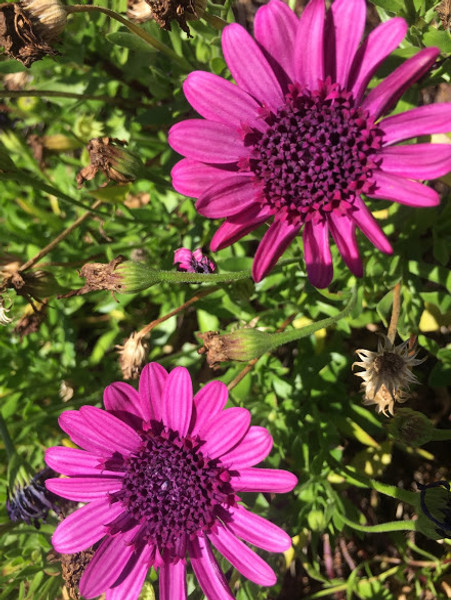 Osteospermum Double Purple (African Daisy) Cuttings or Potted