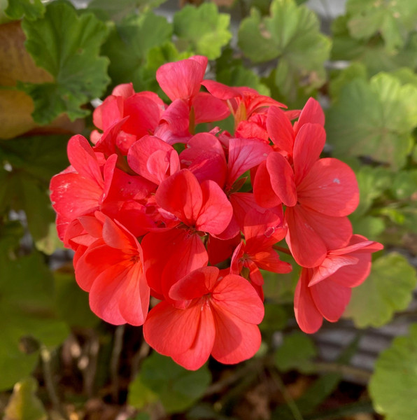 Geranium/Pelargonium Salmon Pink Potted Plants or Cuttings..