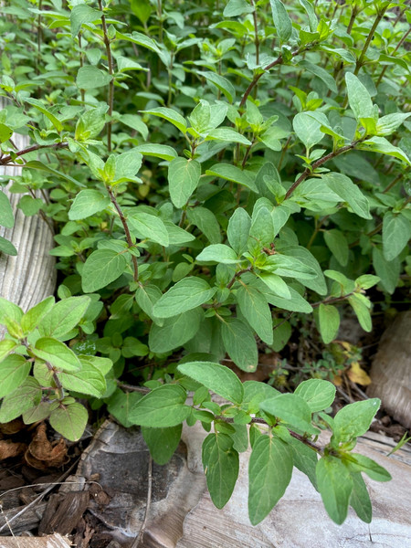 Oregano Herb Plant, Tube stock or Potted Live Plant