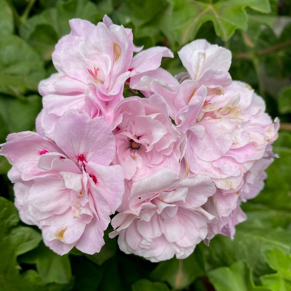 Ivy Geranium Pink Dust Live Cuttings or Potted Plant