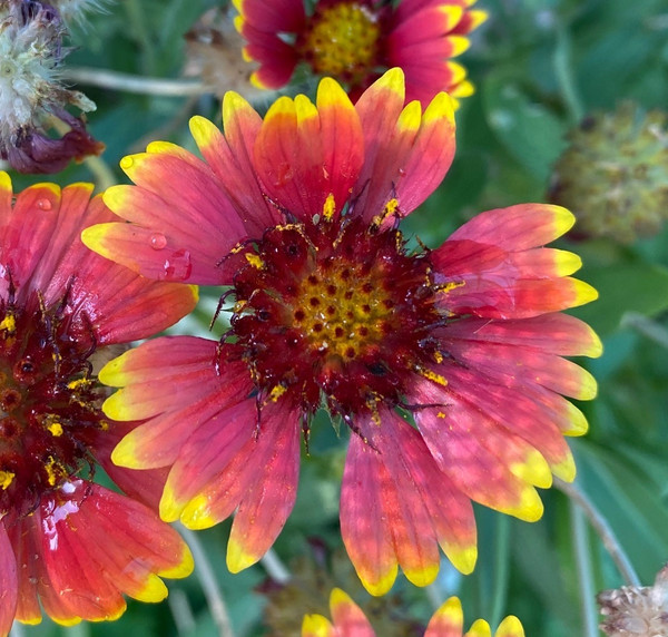 Gaillardia Elite Sunset Snappy cuttings or potted (Hardy)