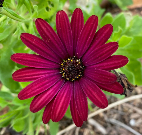 Osteospermum 3D Red (African Daisy) Live Plant