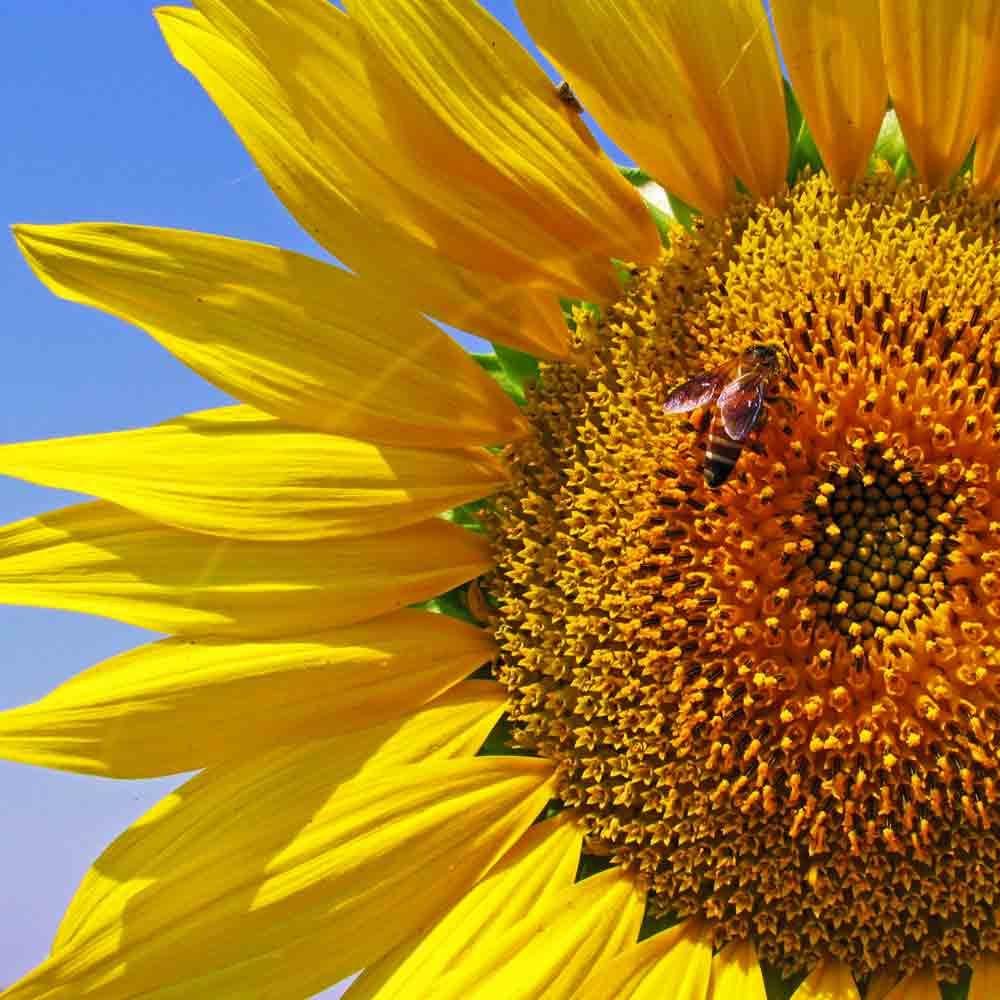Bumblebee on Mammoth Grey Stripe Sunflower - (Helianthus annuus)