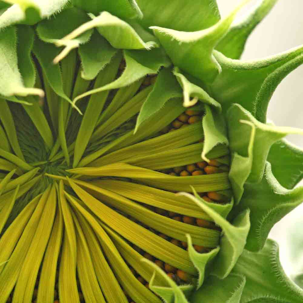 Mammoth Grey Stripe Sunflower about to open  - (Helianthus annuus)