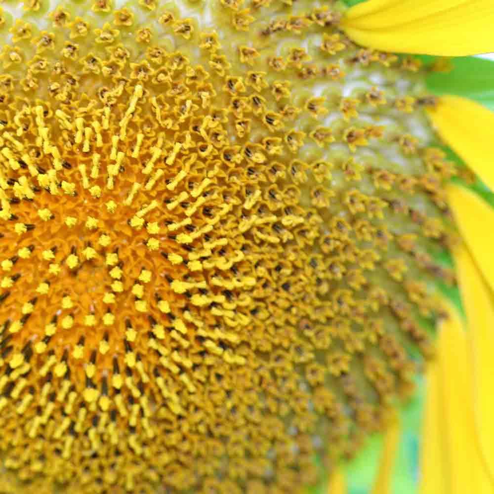 Mammoth Grey Stripe Sunflower closeup - (Helianthus annuus)