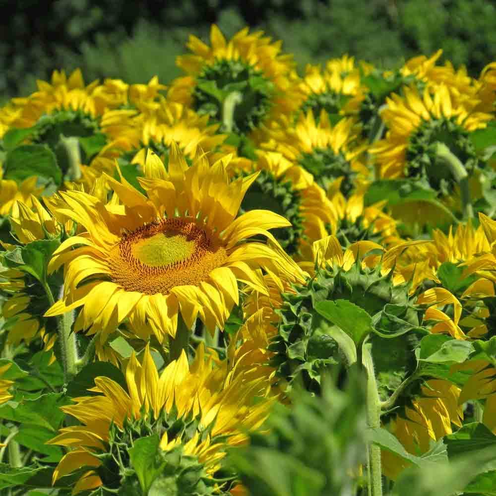 Field of Mammoth Grey Stripe Sunflowers - (Helianthus annuus)