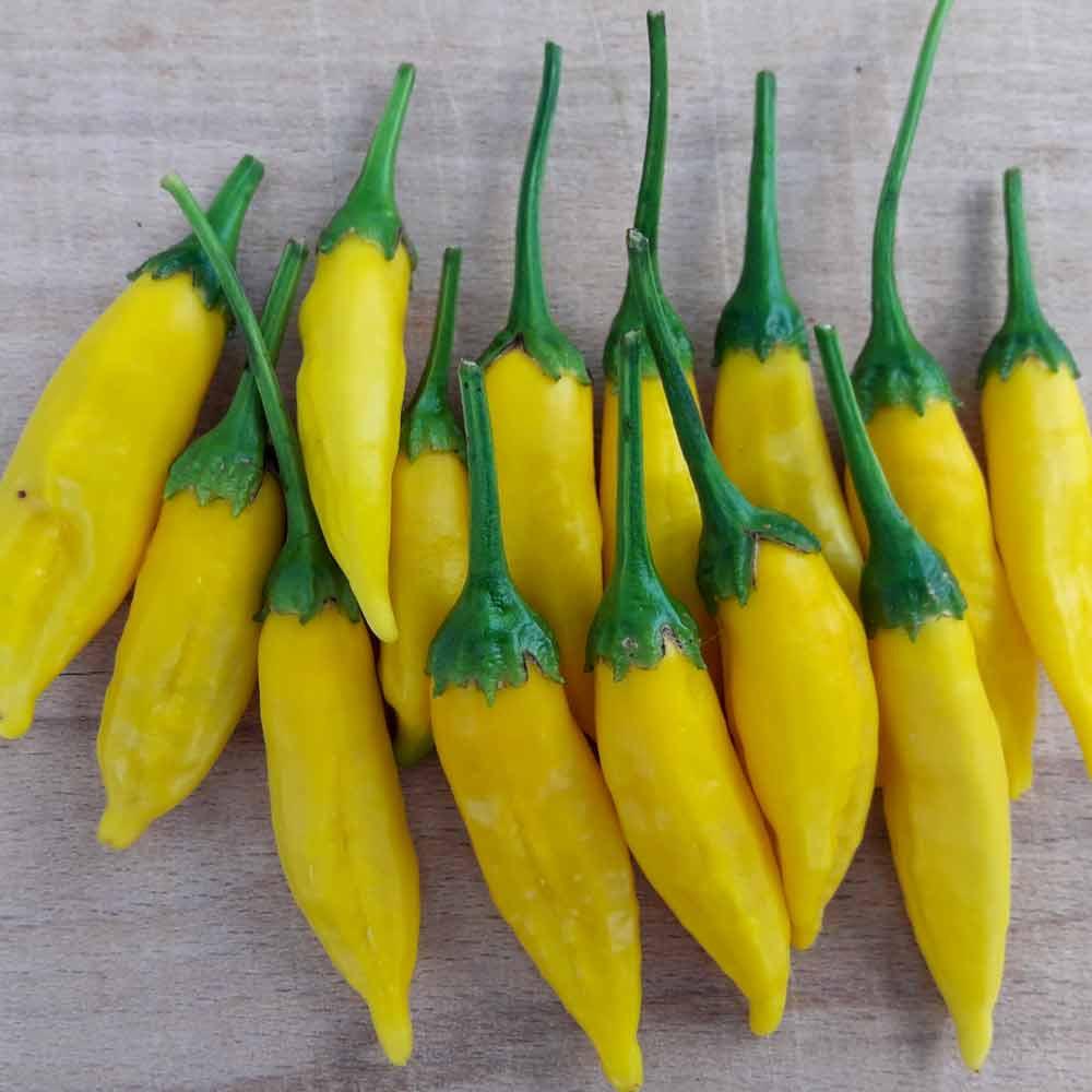 Freshly picked Lemon Drop Peppers - (Capsicum baccatum)