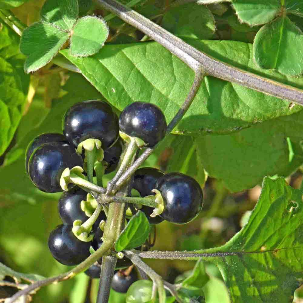 Garden Huckleberry - (Solanum melanocerasum)