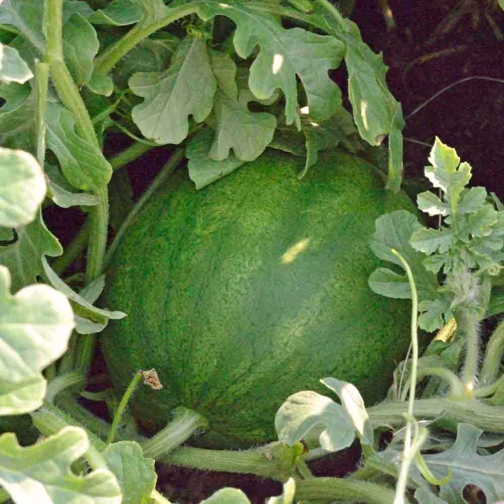 Turkish Watermelon on the vine - (Citrullus lanatus)
