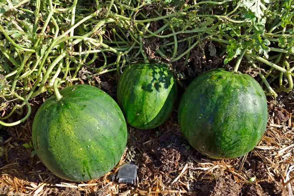 Turkish Watermelons ready for harvesting  - (Citrullus lanatus)