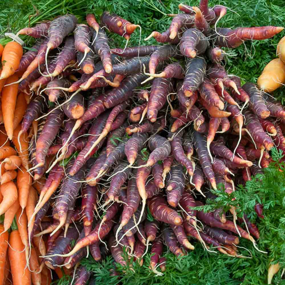 Purple Dragon Carrots - (Daucus carota var. sativus)