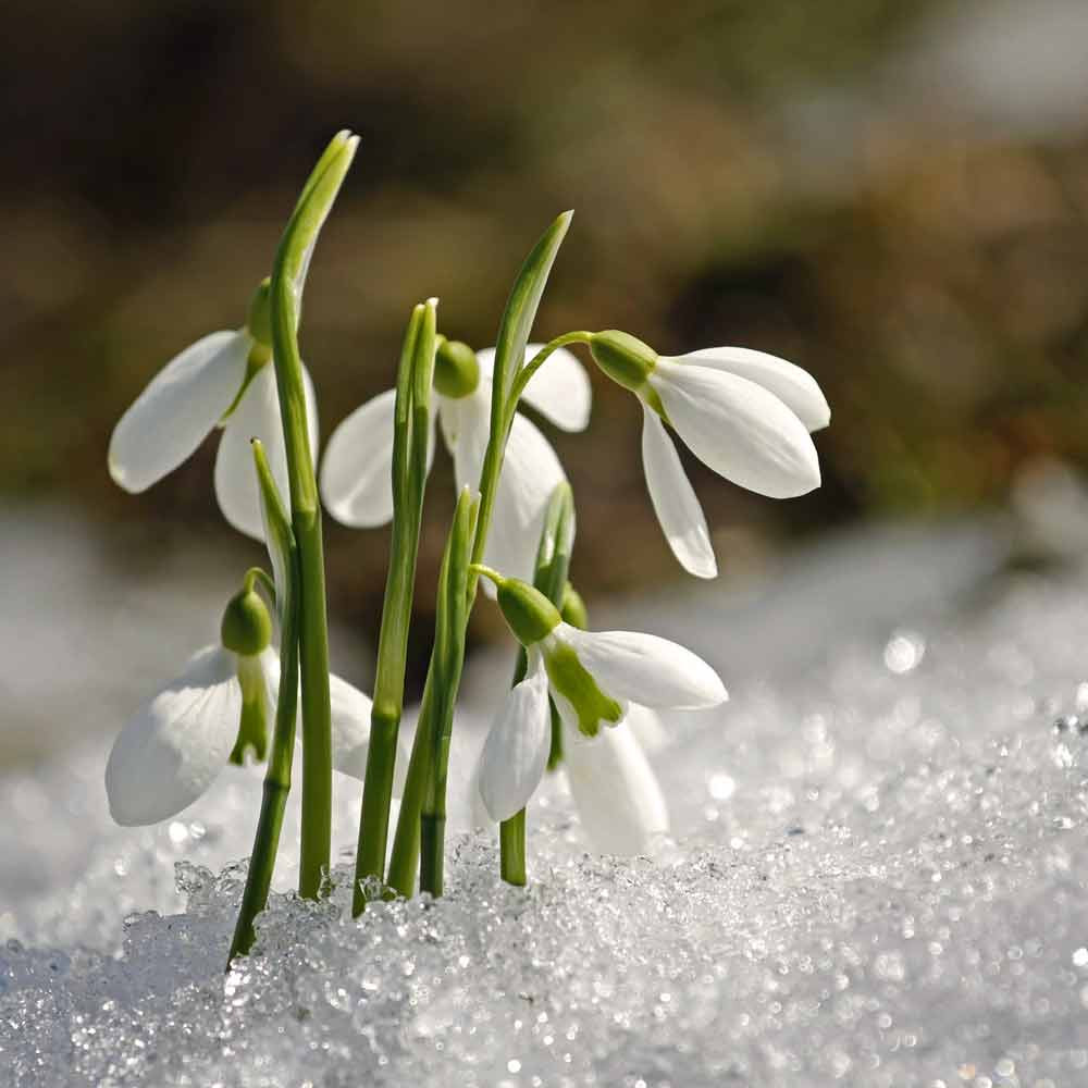 Snowdrop Bulbs -(Galanthus nivalis)
