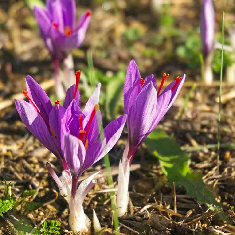 Saffron Crocus Bulbs - (Crocus sativus)