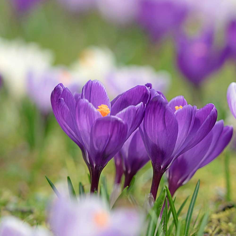 Saffron Crocus Bulbs - (Crocus sativus)