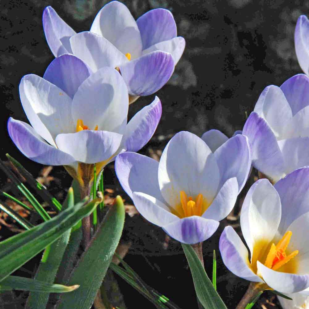 Snow Crocus 'Blue Pearl' Bulbs - (Crocus chrysanthus)