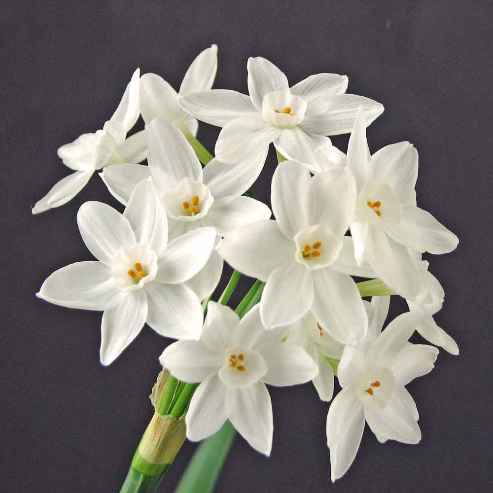 Paperwhites 'Ziva' Bulbs - (Tazetta Narcissus)