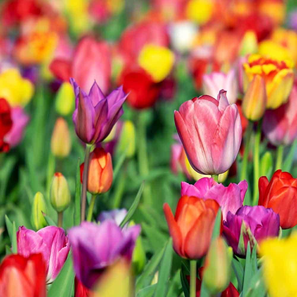 Tulip 'Darwin Hybrid Mixed' Bulbs - (Tulipa Darwin Hybrid Group)