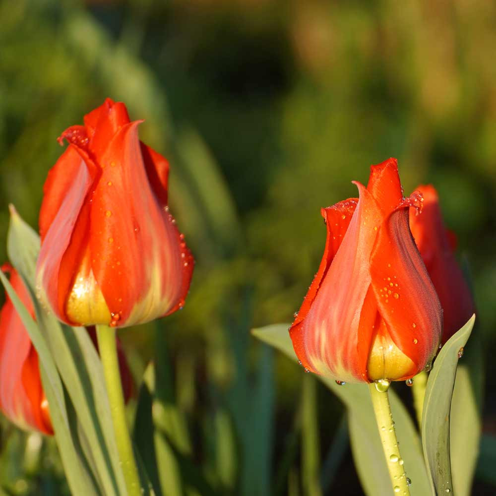 Tulip 'Single Early Red Flair' Bulbs - (Tulipa Single Early Group)