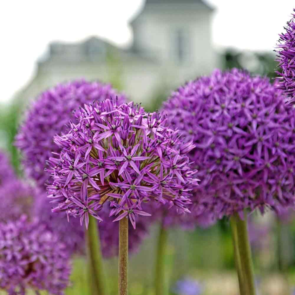Allium 'Gladiator' Flowers - (Allium gladiator)