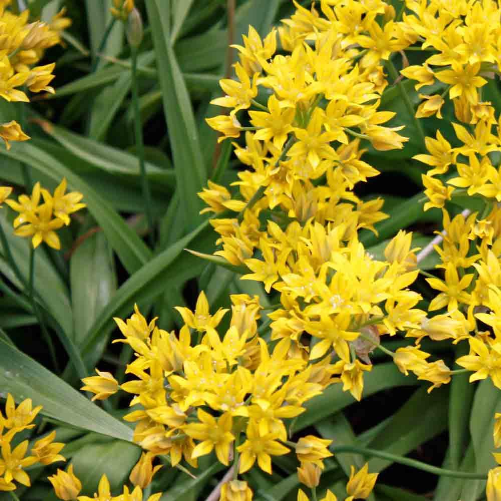 Allium 'Moly' Flowers - (Allium moly)