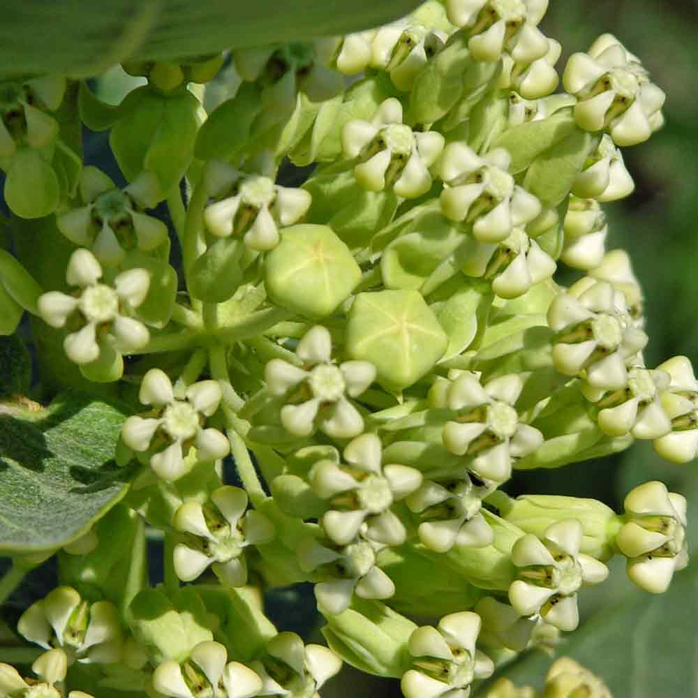 Broadleaf Milkweed Flowers - (Asclepias latifolia)