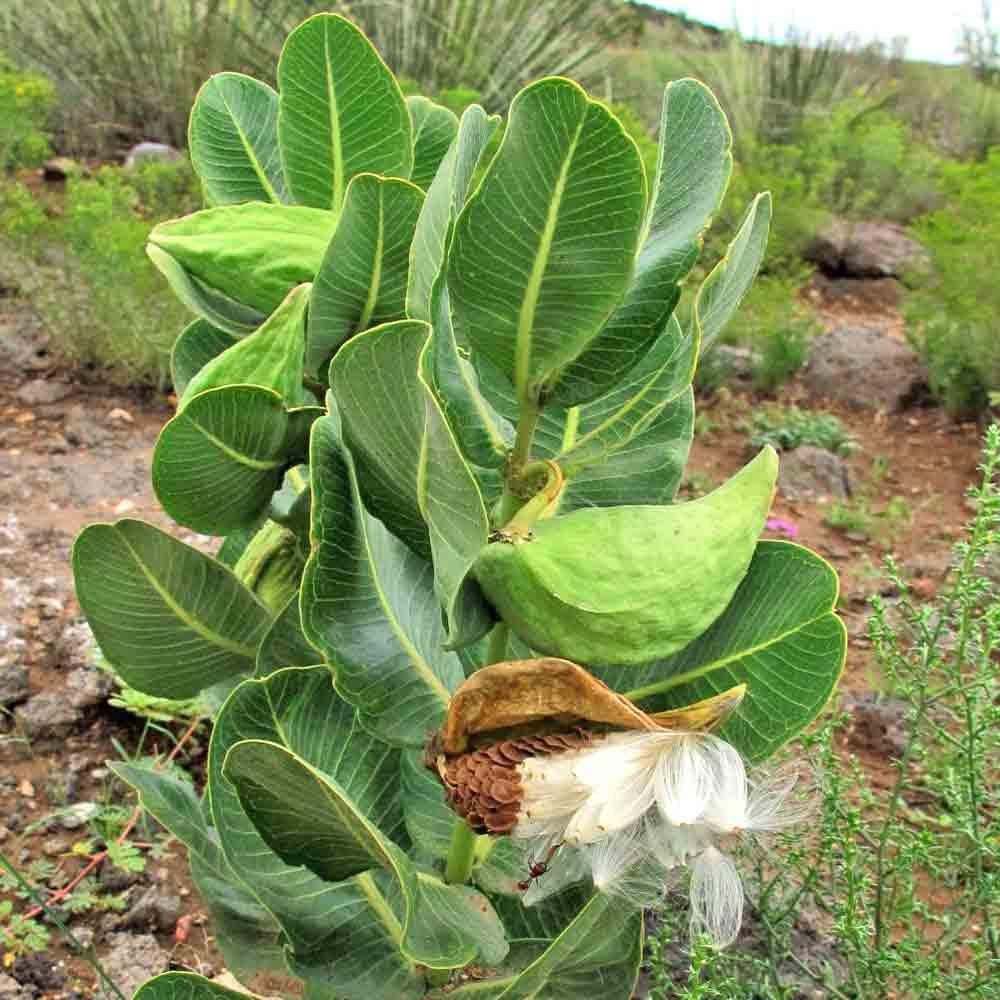 Broadleaf Milkweed Pods and Seeds - (Asclepias latifolia)