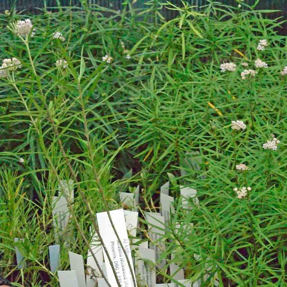 Arizona Milkweed Seedlings - (Asclepias angustifolia)
