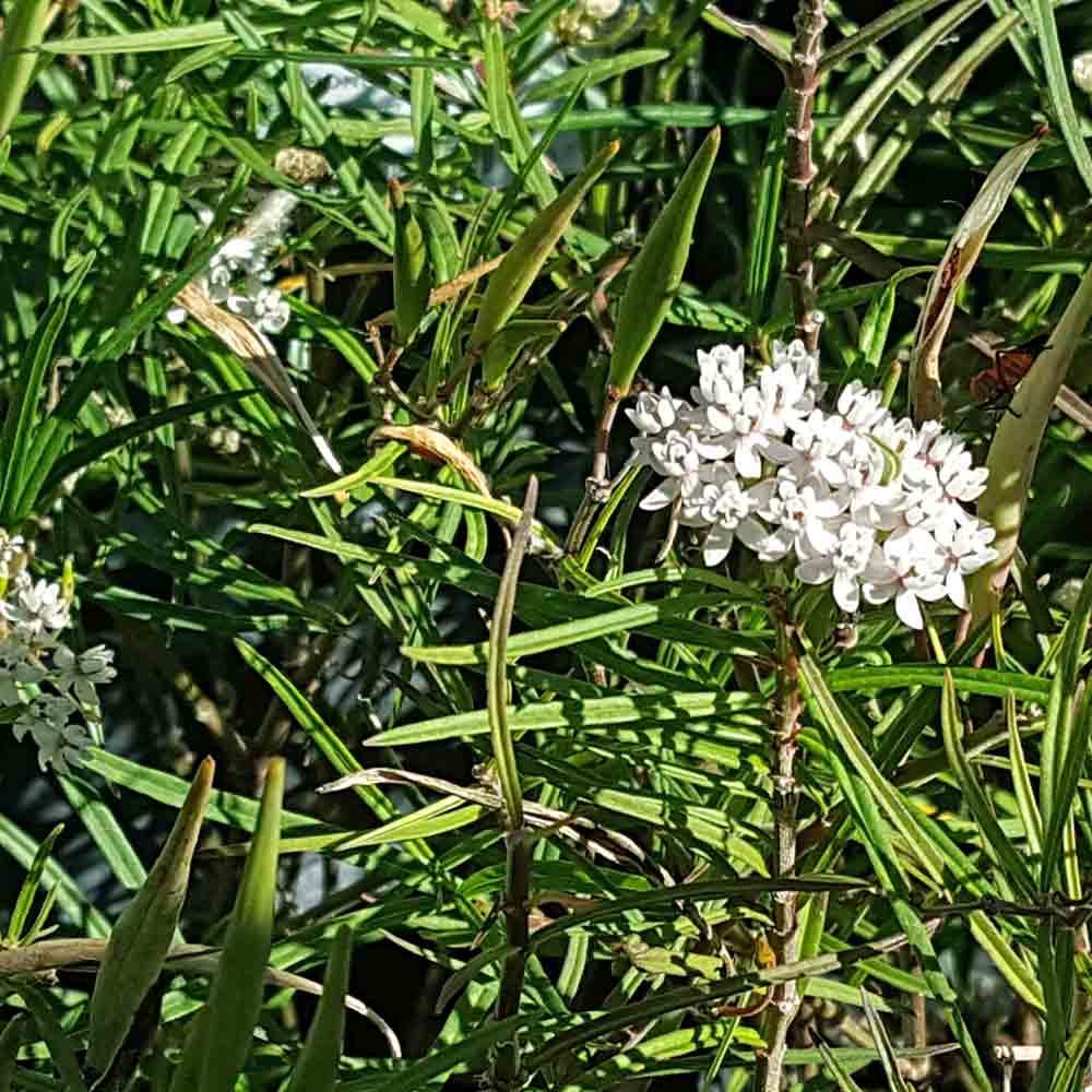 Arizona Milkweed Flower  - (Asclepias angustifolia)