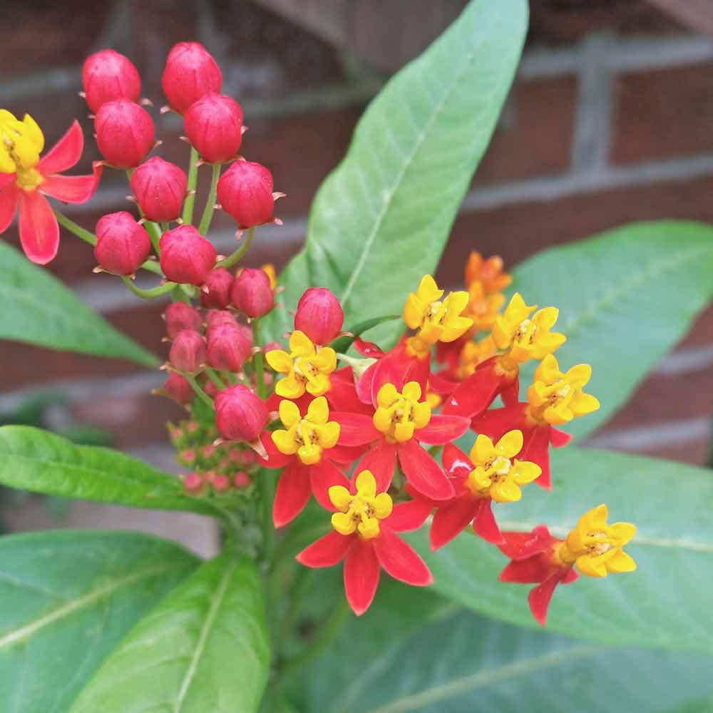 "Tropical Milkweed ""Red Butter"" Flowers - (Asclepias curassivica)"