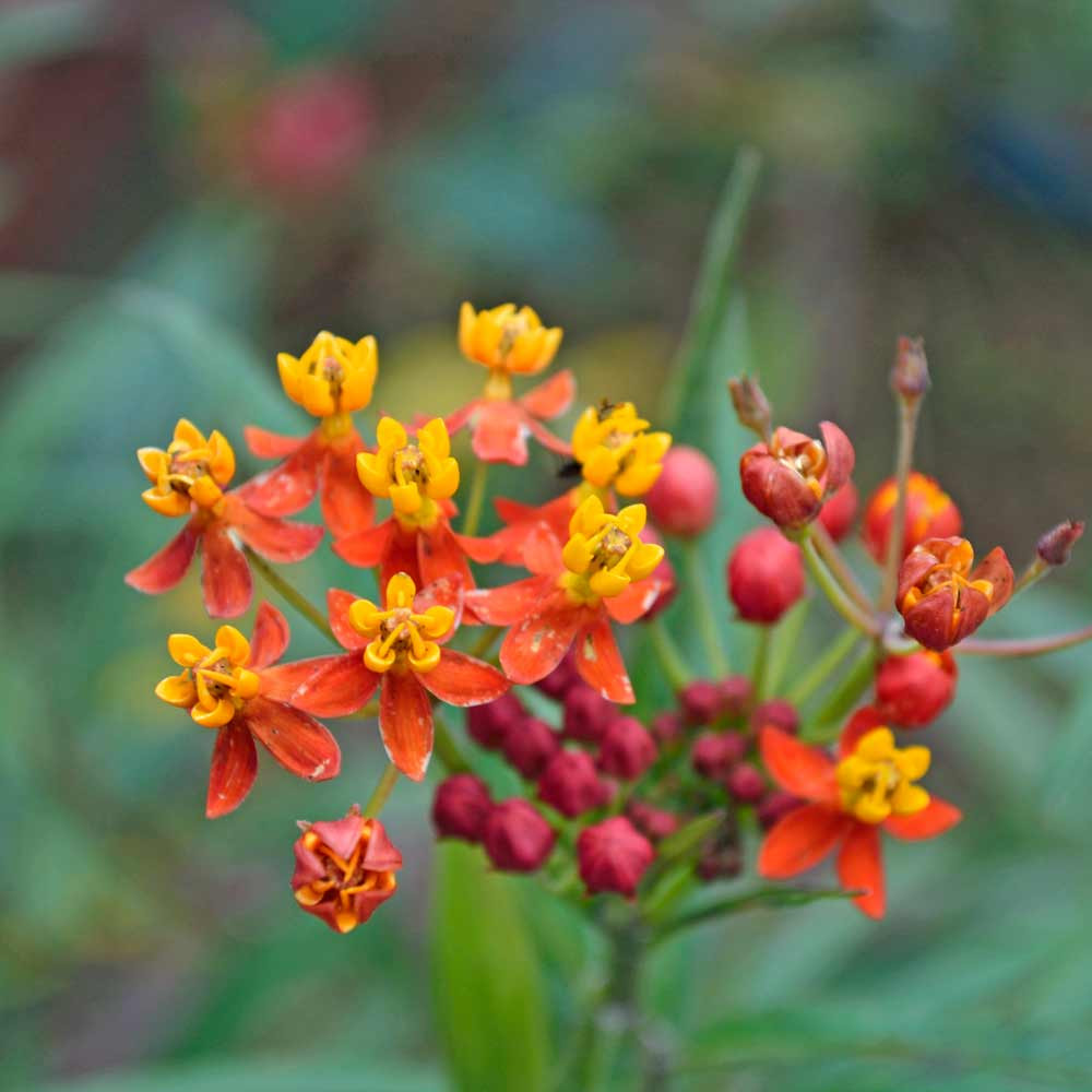 """Tropical Milkweed """"Red Butter"""" Flowers - (Asclepias curassivica)"""