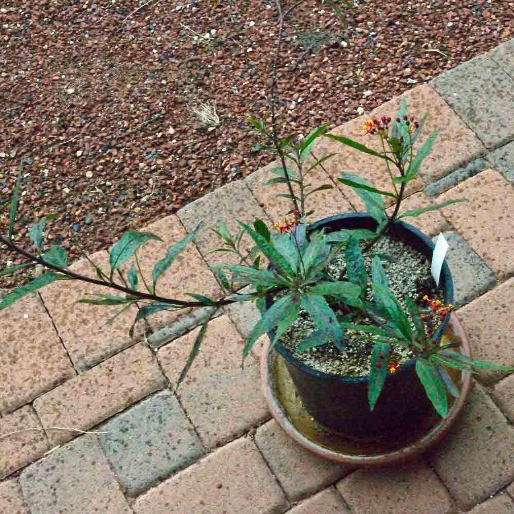 """Tropical Milkweed """"Red Butter"""" Plant - (Asclepias curassivica)"""