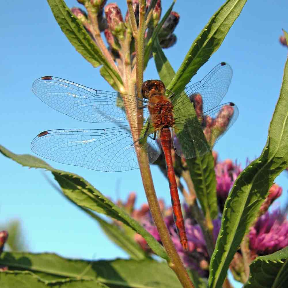 Swamp Milkweed with dragonfly- (Asclepias incarnata)
